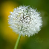 Delicate Dandelion by eyedesign